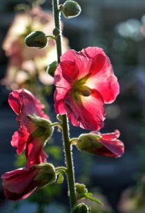 Blütenzauber von Bruno Schmidiger