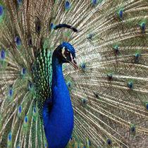 Pfauen-Schönheit, peacock von Dagmar Laimgruber