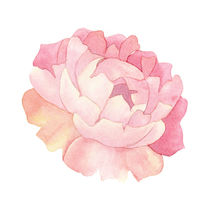Peony Watercolor by zapista