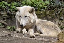 El Lobo von Erika Wagner