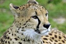Gepard von Erika Wagner