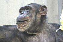 Schimpanse  von Erika Wagner
