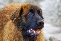 Leonberger by kattobello