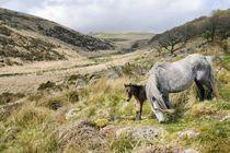 Dartmoor ponies at Wistman's Wood von David Lyons