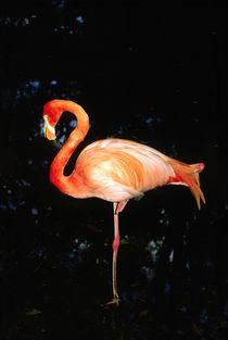 Pink Flamingo von David Lyons