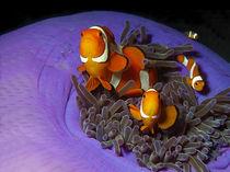 Anemonenfische | Streitbare Gesellen von Ute Niemann