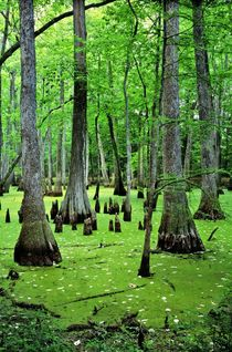 Water Tupelo and Bald Cypress, Mississippi by David Lyons