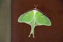 Luna moth. Actias luna von David Lyons
