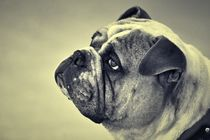 Old English Bulldog in black and white von kattobello