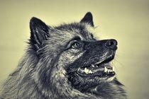Wolfsspitz in schwarz und weiß von kattobello