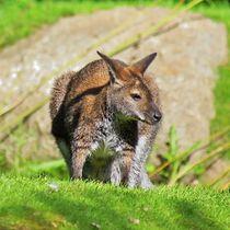 Benett Känguru von kattobello
