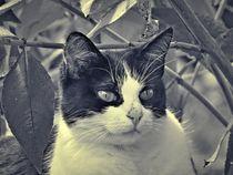Kuhkatze in schwarz und weiß by kattobello