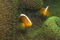 Anemonefish | In The Green by Ute Niemann