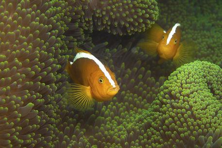 Amphiprion-sandaracinos-skunkstripedanemonefish-1180430f-32-kunstdruck
