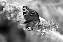 Lilacs & Butterflies von Bianca Baker