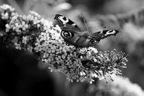 Butterflies & Lilacs by Bianca Baker