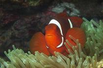 Anemonenfisch | In glühendem Rot von Ute Niemann