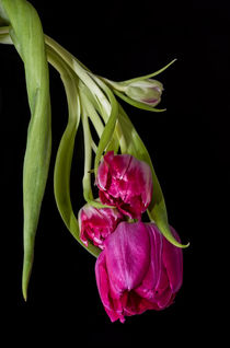 Tulpen by fotolos