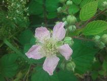 Brombeerblüte von rianka