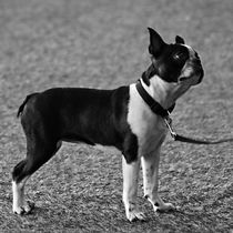 Boston Terrier in black and white von kattobello
