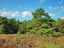 Lüneburger Heide by kattobello