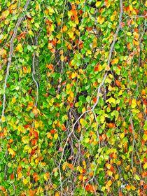 Birke im Herbst von kattobello