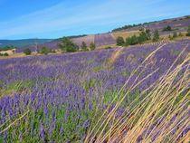 Lavendelfeld auf Korsika 2 von kattobello