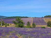 Lavendelfeld auf Korsika von kattobello