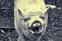 Smiling Mini Pig by kattobello