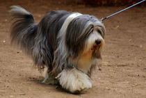 Bearded Collie von kattobello