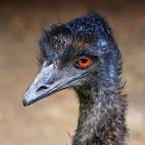 Emu by kattobello