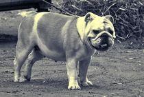 Englische Bulldogge von kattobello