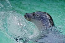 Seehund von kattobello