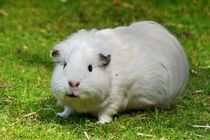 Weißes Meerschweinchen von kattobello