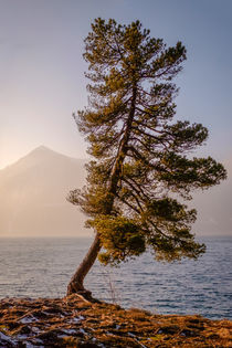 'Solitair Pine' by elio-photoart