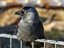 Rabenvogel von maja-310