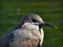 Inka-Seeschwalbe - Jungvogel by maja-310