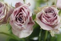 Rosarote Rosen von Petra Dreiling-Schewe
