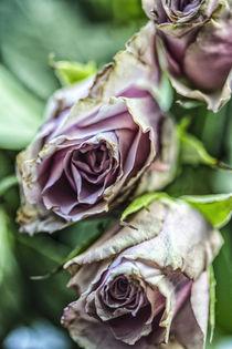 Rosen von Petra Dreiling-Schewe