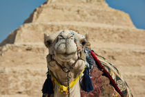 Camel at Step Pyramid of Saqqara by Andy Doyle