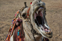 Sloppy Camel Yawn by Andy Doyle