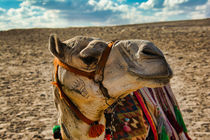 Cute Camel Side View by Andy Doyle