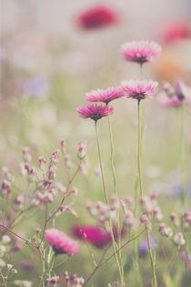Kornblume rosa by Annett Mirsberger