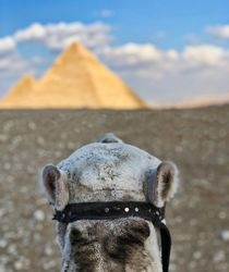 Camel pondering the Great Pyramids von Andy Doyle