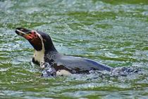 Humboldtpinguin von kattobello