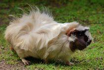 Punker Meerschweinchen von kattobello