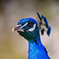 Edler Pfau by kattobello