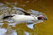 Humboldt Pinguin im Wasser 2 von kattobello