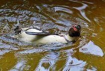 Humboldt Pinguin im Wasser 1 von kattobello