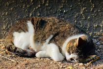 Schlafende Hauskatze von kattobello
